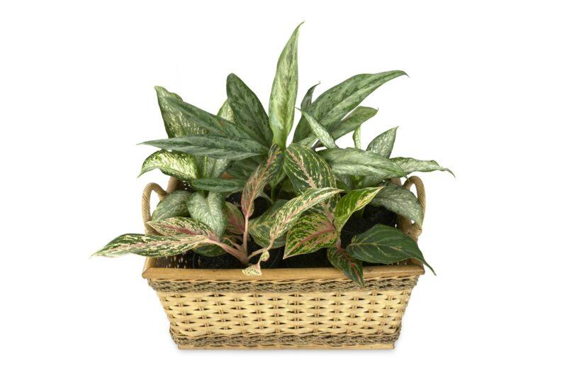 Der Kolbenfaden ist eine beliebte Zimmerpflanze: Schon wenige Gramm der Blätter können für Katzen und Hunde tödlich sein! Das Gießwasser ist ebenfalls sehr giftig
