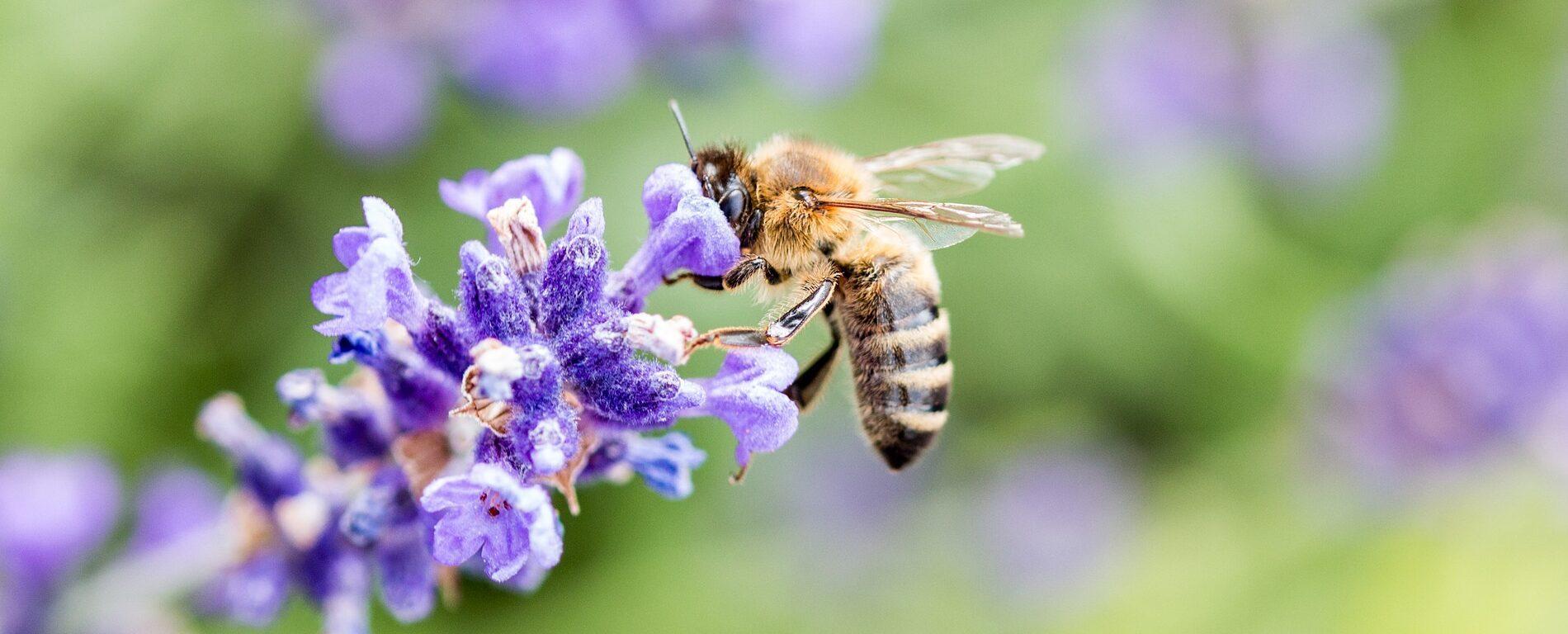 Ätherisches Öl des Monats Juni: Lavendel